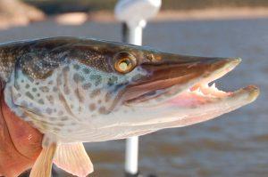 pescador-muskies-2014f